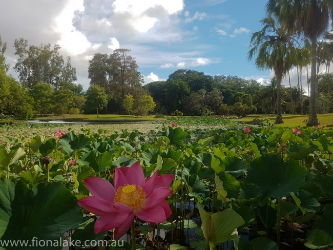 Townsville Botanic Gardens - lotus lillies in bloom